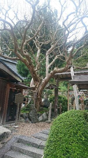 正寿院の樹齢300年の百日紅