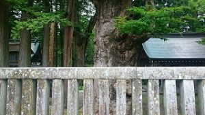 諏訪大社上社本宮東参道の巨木