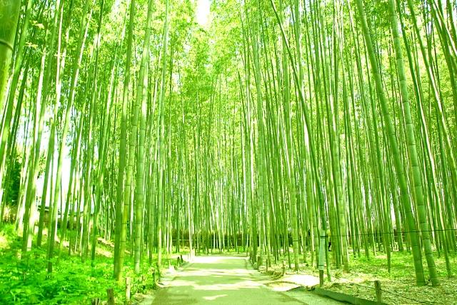 嵯峨野竹林の小径
