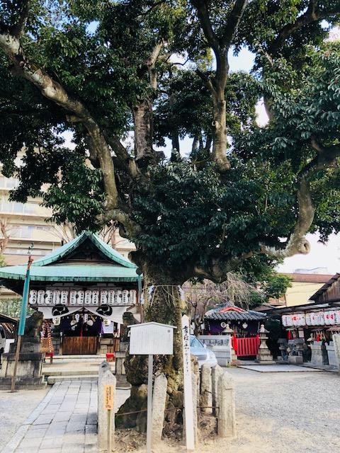 金札宮のクロガネモチの木