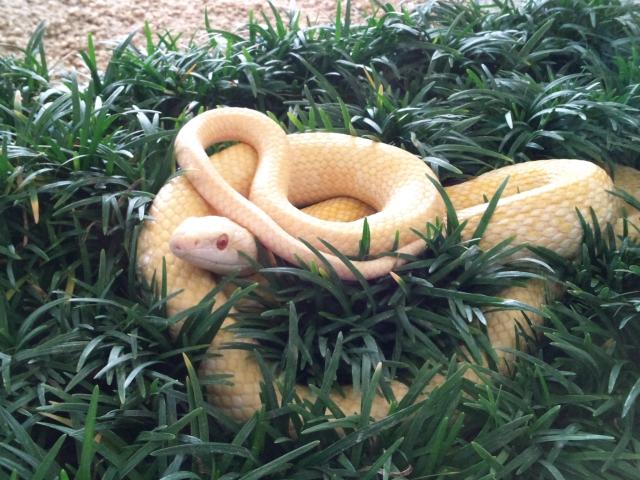 金運財布の白蛇のパワー