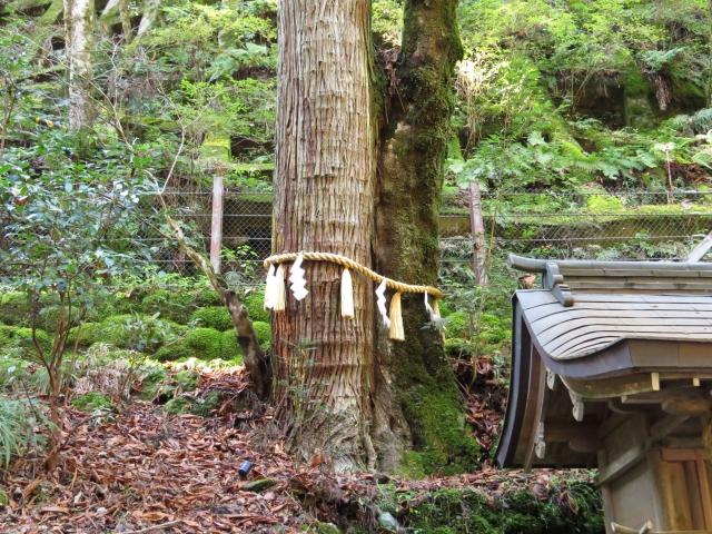 貴船神社御神木の連理木