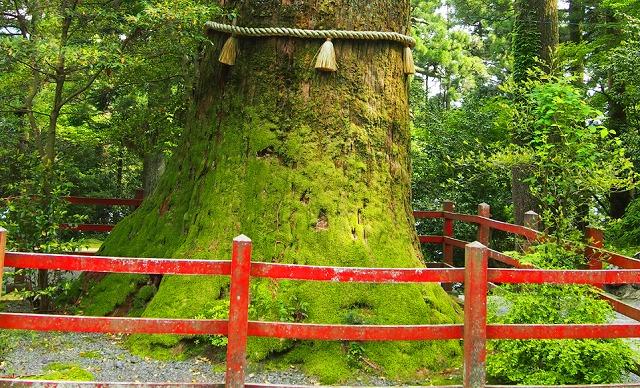 箱根神社の矢立ての杉