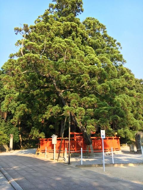 香椎宮の綾杉