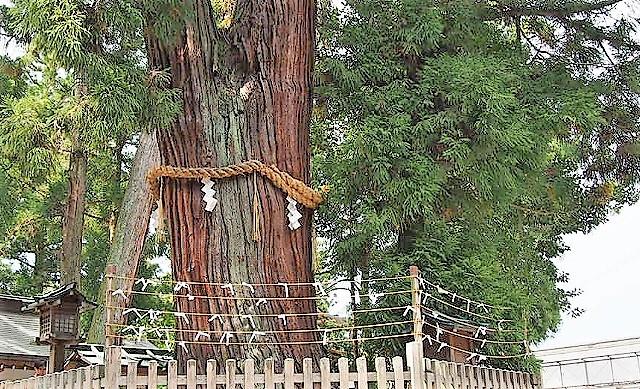 白蛇が住むご神木巳の神杉