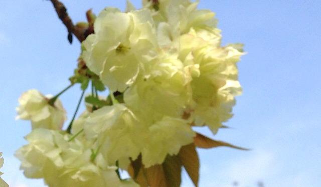鬱金の桜(金の成る木)